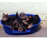 Adorable Yorkshire puppies ready for a new home