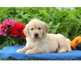 Awesome Golden Retriever puppies ready to go now