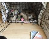 Excellent male and female pug puppies for sale to forever homes.