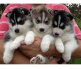 Siberian husky puppes are 12 weeks old.