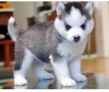 12 weeks Siberian husky puppes are 12 weeks old.