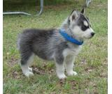 Beautiful 10 weeks old Siberian husky for loving homes