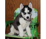 Siberian Husky Purebred Puppies for sale(702) 200-9277