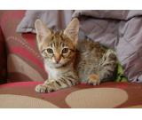Healthy F1/F2 Savannah Kittens.