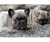 Absolutely stunning Blue-tri Lilac Frenchie puppies available  (502)-414-3995