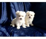 Kennel Club Reg. Sweet Boy and girls Maltese Puppies Ready For a new Home  (612)470-0476
