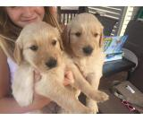 Akc golden retriever puppies for sale (432) 698-0622