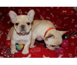 Healthy Cream White French Bulldogs Puppies Ready For New Home With Vaccines and AKC