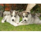 Two Gorgeous Kc Siberian Husky Puppies For Sale