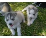 Siberian Husky puppies looking for new homes