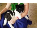 Male and Female Akita Puppies For New Homes
