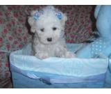 HKC purebred Sally Maltese puppies available for rehoming