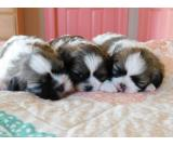 Adorable Male And Female Shih Tzu Puppies 4 Adoption contact...(912) 235-0913