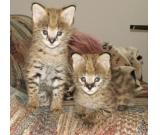 F1 Savannah and Bengal kittens for adoption.