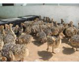 Healthy ostrich chicks for sale.