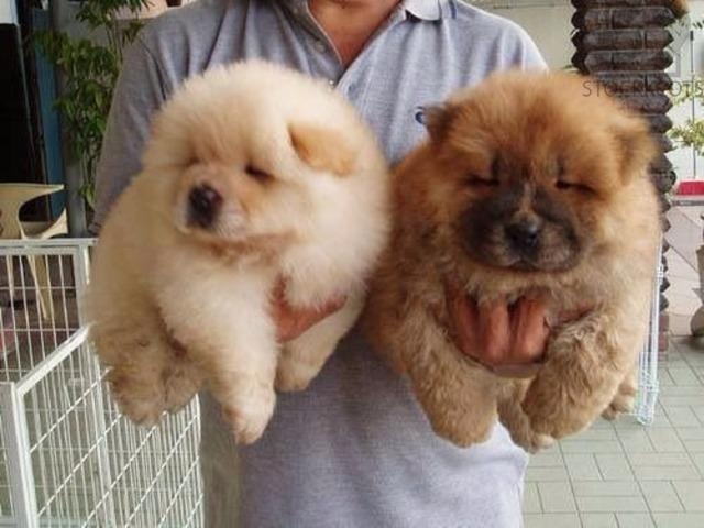 Wormed Chow Chow Puppies Ready Sandy Free Classifieds Free Ads