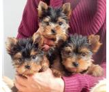 Yorkie Puppies Available Text/call via