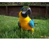 Healthy Blue and Gold Macaw Parrots Available Text (724) 241-3049