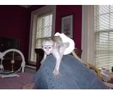 DAIPER TRAINED CAPUCHIN MONKEY FOR SALE