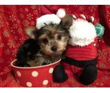 AKC T-CUP YORKIE PUPPIES FOR ADOPTION