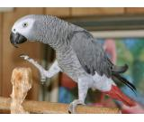 DNA TESTED TALKING AFRICAN GREY PARROT FOR ADOPTION
