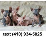 Adorable sphynx kittens for sale.text(410) 934-5025