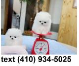 Cutest t-cup pomeranian puppies for sale.