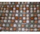 fertilized parrot eggs for sale