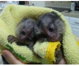 Quality Legit Baby Capuchin and Marmoset Monkeys