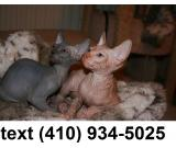 Super Adorable sphynx kittens for sale.