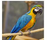 Amazing Pair Of Blue and Gold Hyacinth Macaw For Sale