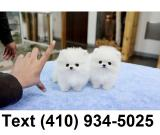 Super cute micro t-cup pomeranian puppies for sale.