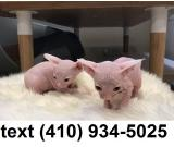 Amazing sphynx hairless kittens for sale.