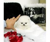 Healthy Teacup Pomeranian Puppies for adoption