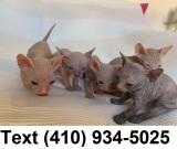 Stunning hairless sphynx kittens for sale!