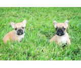 AKC Reg French Bulldog Puppies Males and Two Female Now Available