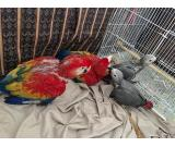 african grey parrots, cockatoo parrots, blue and gold macaw, citron cockatoo
