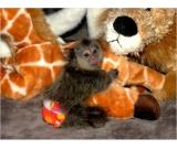 Healthy Finger Baby Marmoset Monkeys available