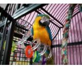 buy macaw parrot blue and gold