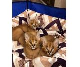 Adorable Caracal kittens need home, Luxury Caracal kittens for sale, Caracal kittens for sale