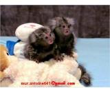 Two baby marmoset monkeys