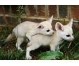 Two fennec fox for sale