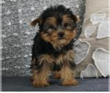Yorkshire Terrier Puppies-ready Now!!!!