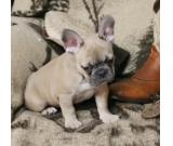 Health French Bulldog Puppies