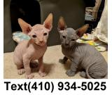 Adorable sphynx male and female kittens for sale.