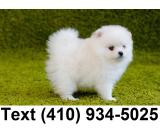 Amazing teacup pomeranian puppies for sale.