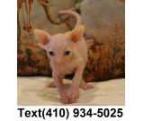 Amazing sphynx kittens searching for new homes!