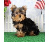 Two Gorgeous Teacup Yorkie puppies