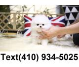 Amazing cute tiny t-cup pomeranian puppies for sale.