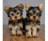AKC  yorkie puppies for SALE Text:(651) 538-0802